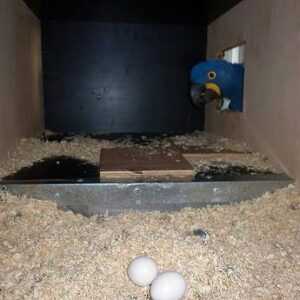 Buy Hyacinth Macaw Parrot Eggs