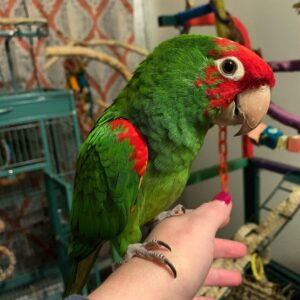 Cherry-Headed (Red-Masked) Conure