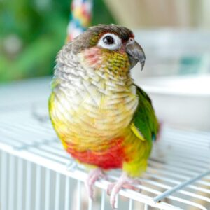 Healthy Green-cheeked conure